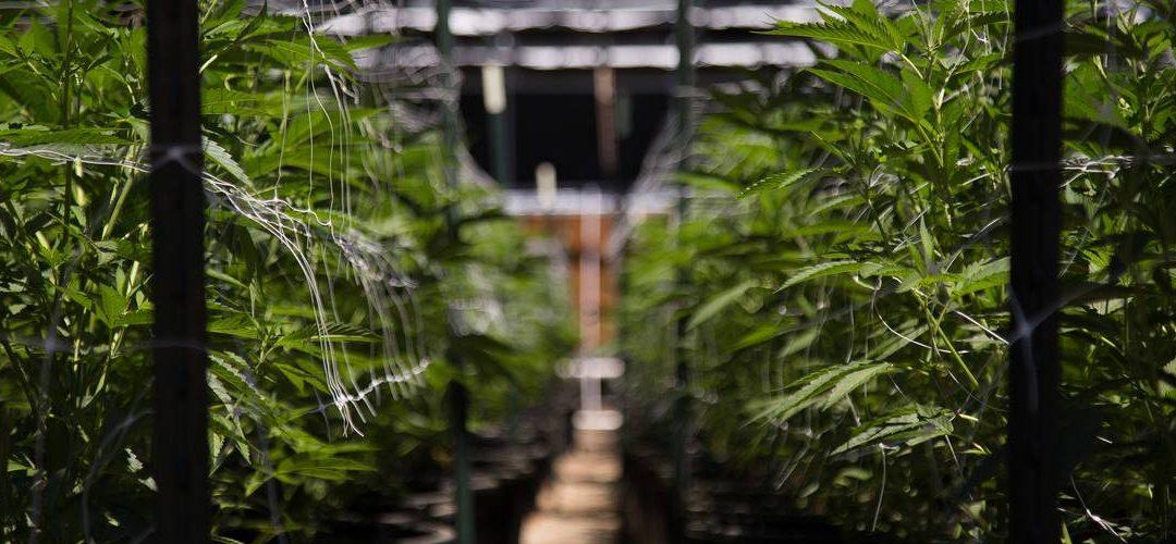 Hvad er forskellen på medicinsk cannabis og cannabisolie med CBD?